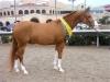 region-one-sport-horse-top-5-hot-roddin-robby