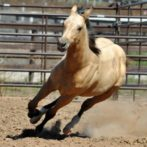 For Sale- Dun In Cowgirl Form AQHA/ABRA